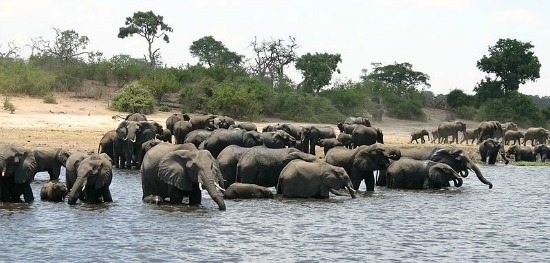 Largest elephant herd at Chobe National Park