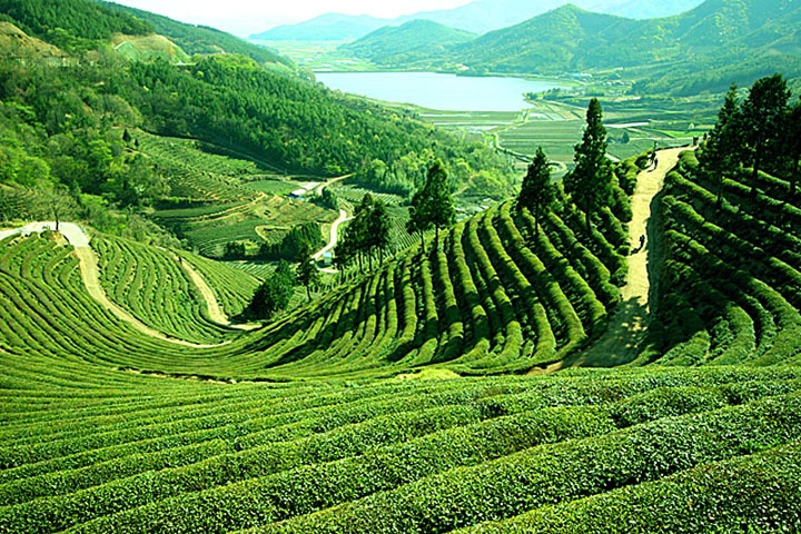 The green and lush tea gardens of Darjeeling