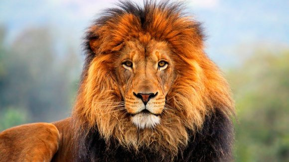 A majestic male African lion