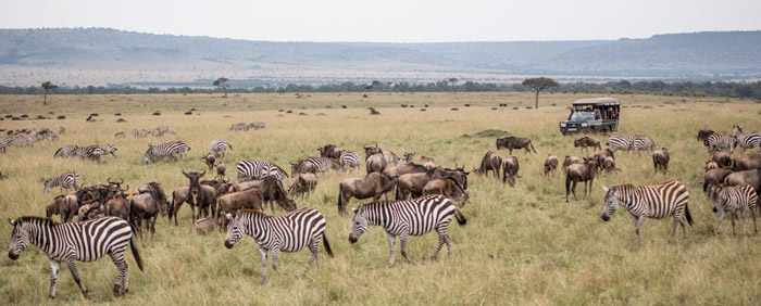 The animals graze on Maasai Mara's lush plains