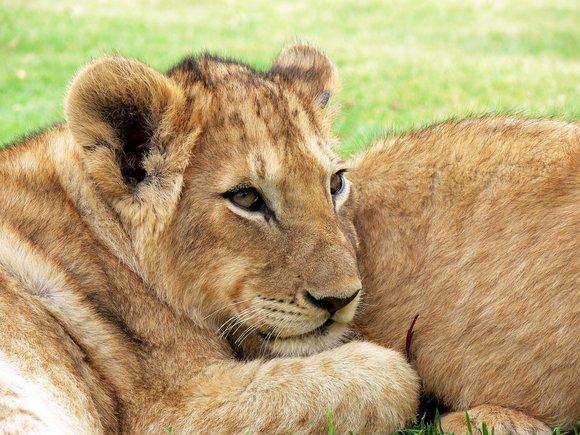 Lions at the Maasai Mara