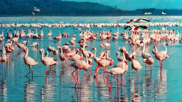 Pink flamingo at Lake Nakuru National Park