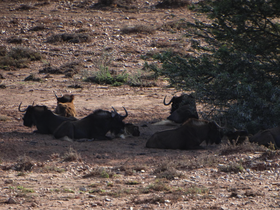 A herd of Wildebeests relaxing