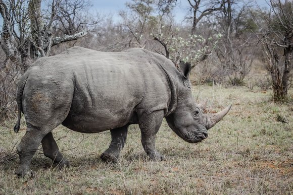 Saving endangered rhinos from going extinct