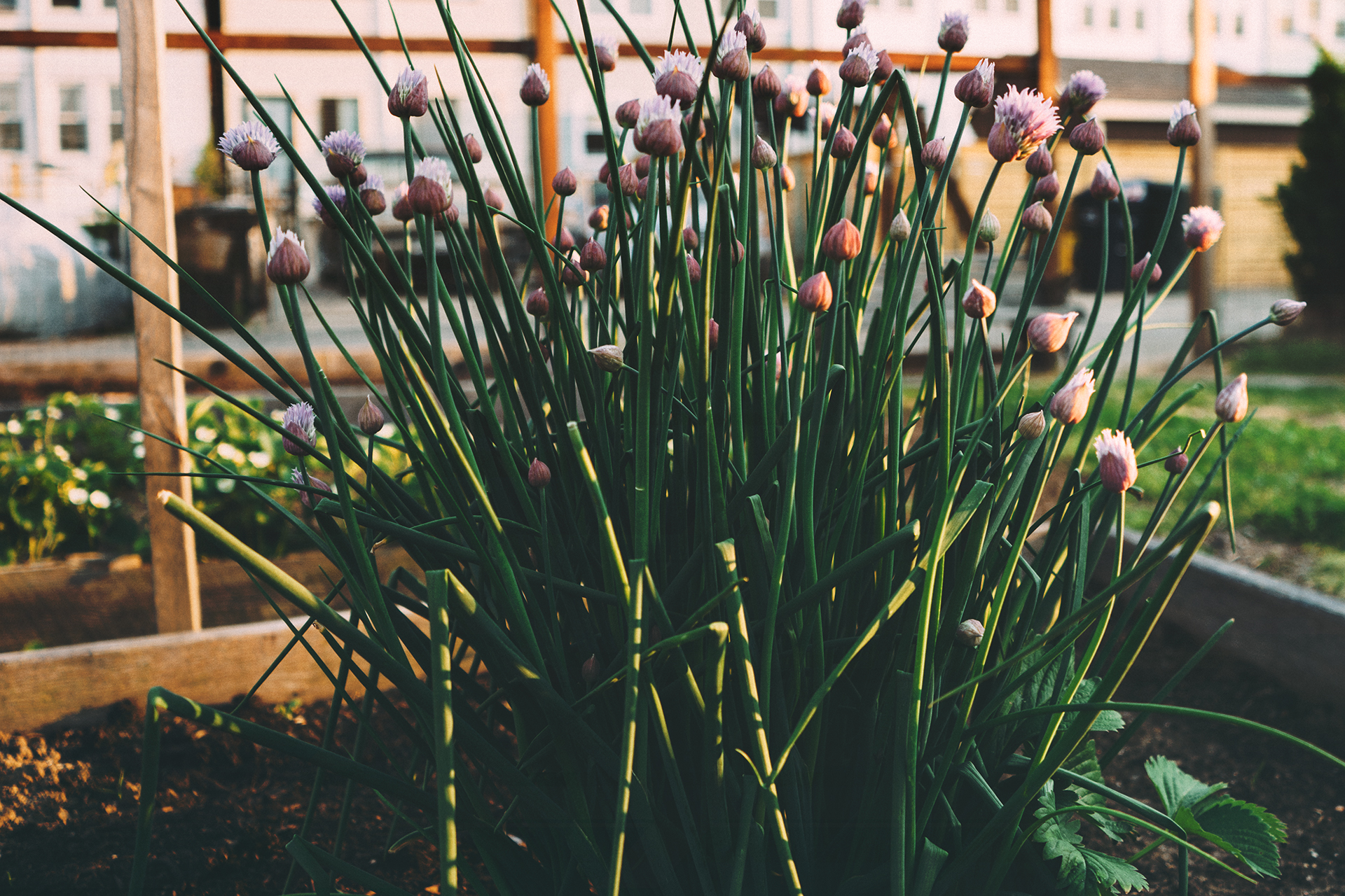 Fresh chives plant