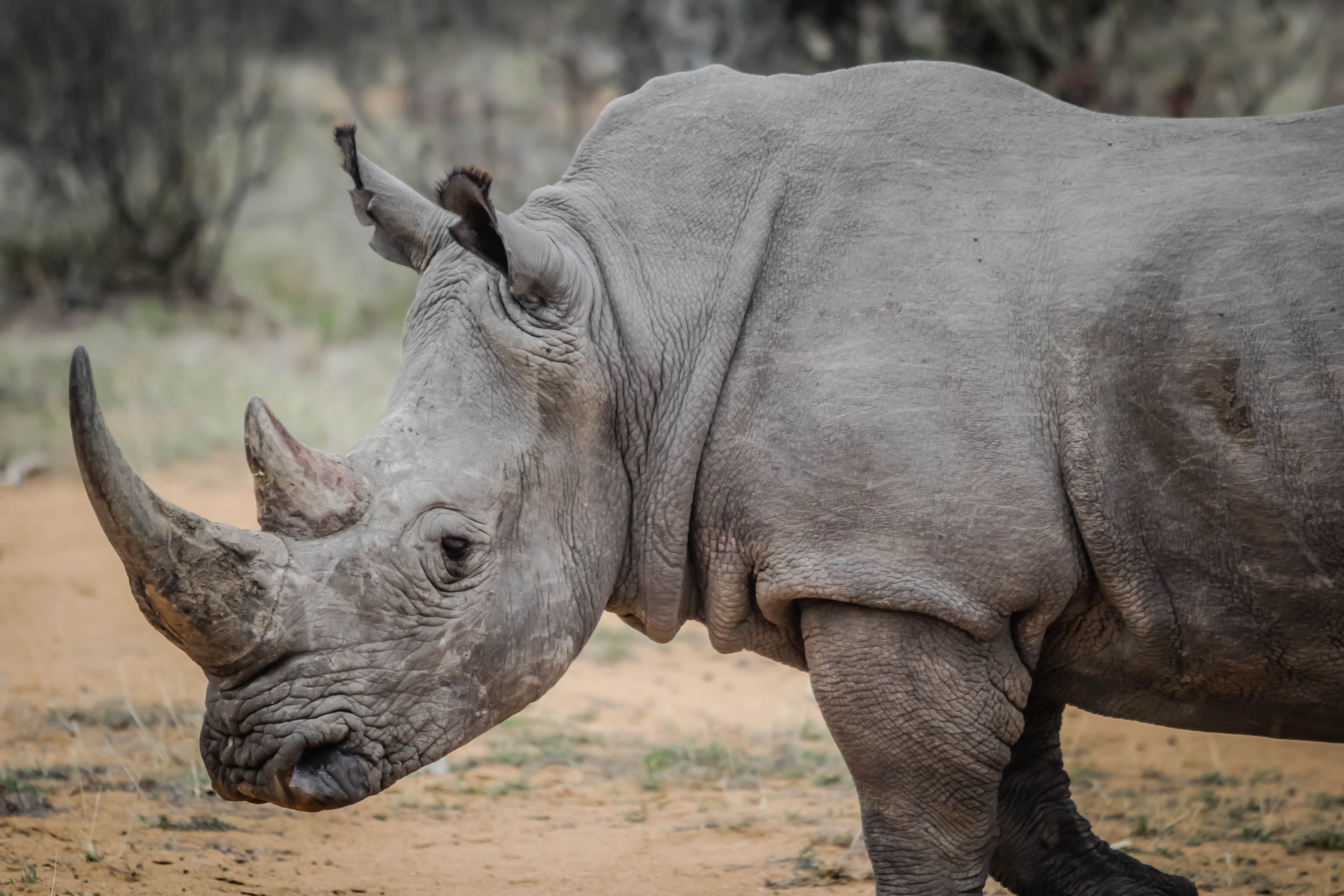 African Rhinos, one of Africa's most endangered species