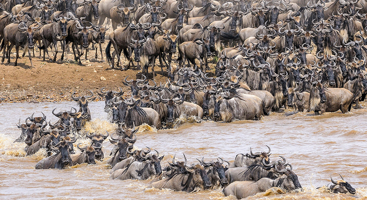 The highly risky river crossing a huge challenge for the wildebeest