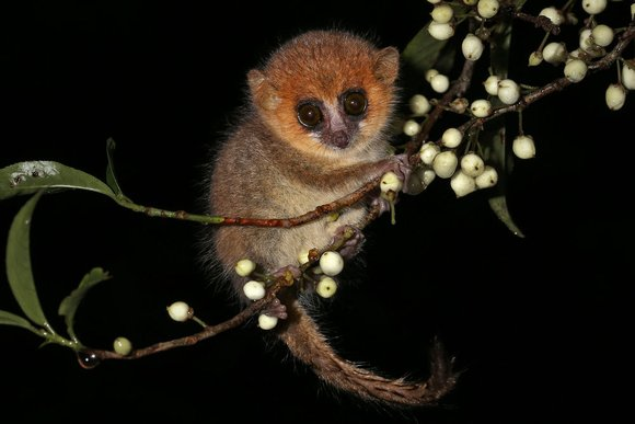 Goodman's mouse lemur
