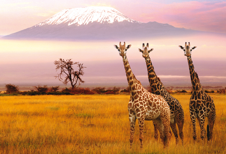 Giraffes at the Amboseli National Park overlooking Mount Kilimanjaro