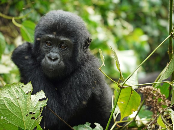 Wildlife Photography: Tips That Will Help You to Snap Perfect Photos of Mountain Gorillas - BookAllSafaris.com