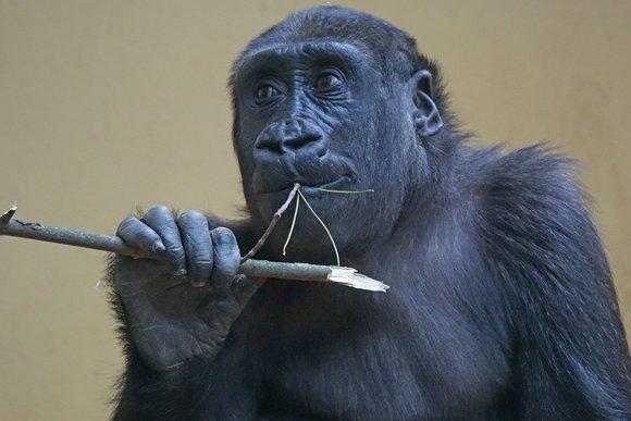 Gorillas using tools in the wild
