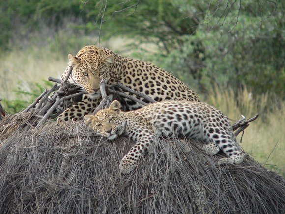 Leopards give birth to two to three cubs