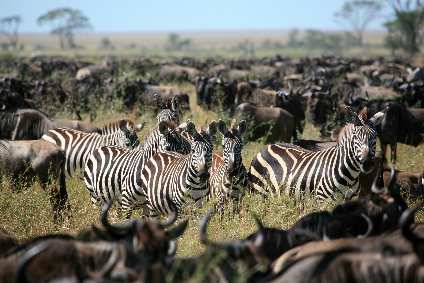 Zebras among a large herd of wildebeest during an annual migration