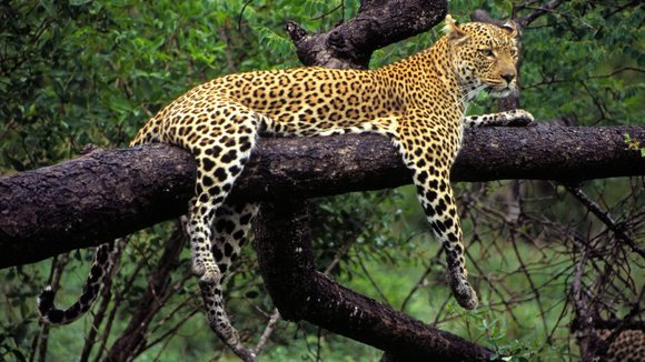 The African leopard love to 'hide' in trees