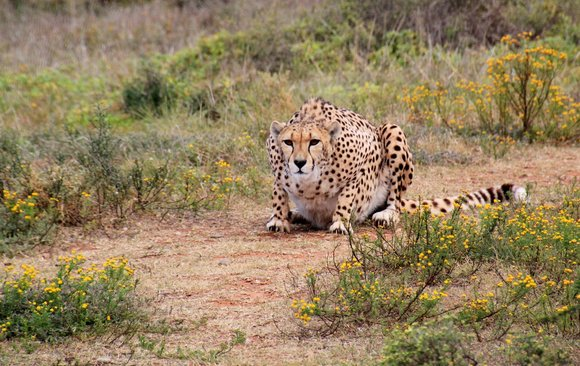 Cheetah at Kruger National Park