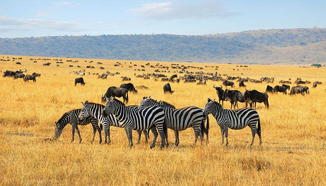 Zebras grazing in an African grassland