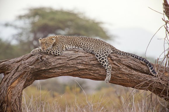leopards are expert climbers