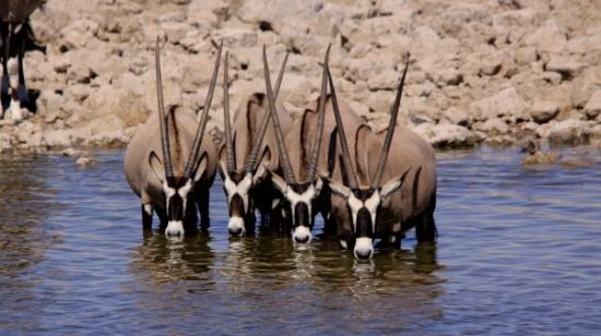 The black faced impalas at the Ethosa National Park