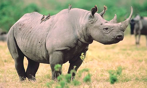 Black Rhinoceros are extremely endangered