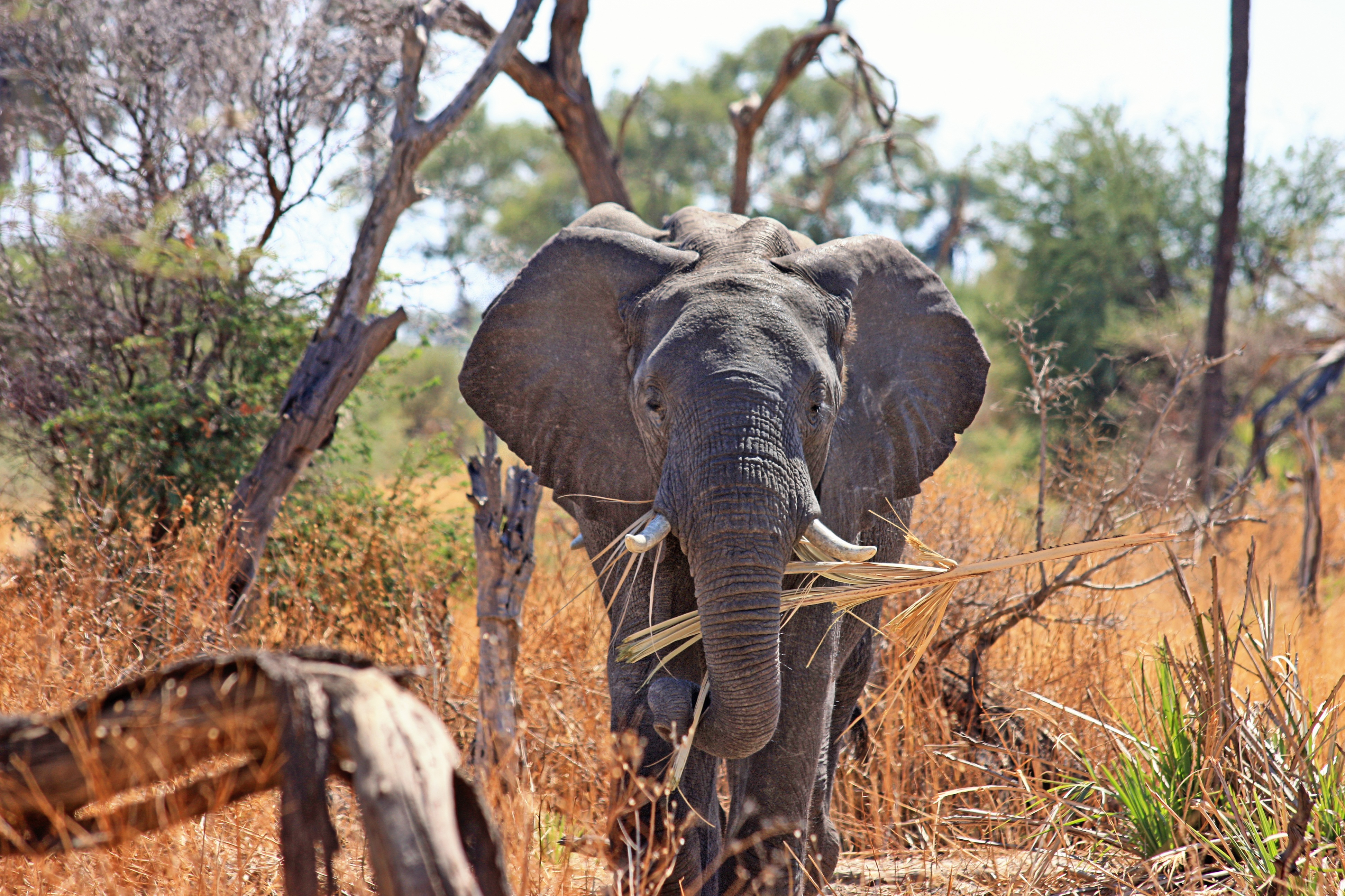 African elephants are among the big five animals you will see at a big five safari