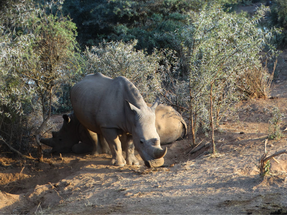 Rhinoceros in its habitat